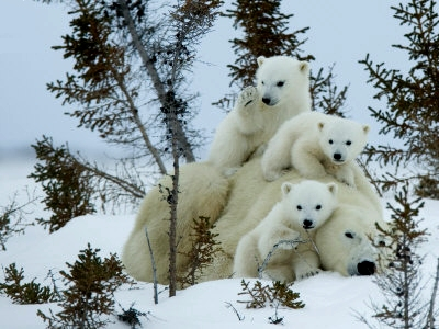 wandering brook polar bear cubs emerge from winter. Black Bedroom Furniture Sets. Home Design Ideas