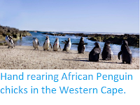 https://sciencythoughts.blogspot.com/2014/11/hand-rearing-african-penguin-chicks-in.html