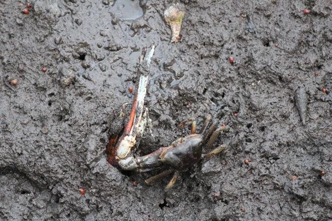 el cangrejo vencedor