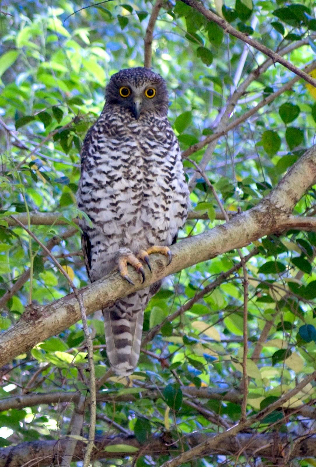 Powerful Owl Habitat Threatened In Moreton Bay Area 11 03
