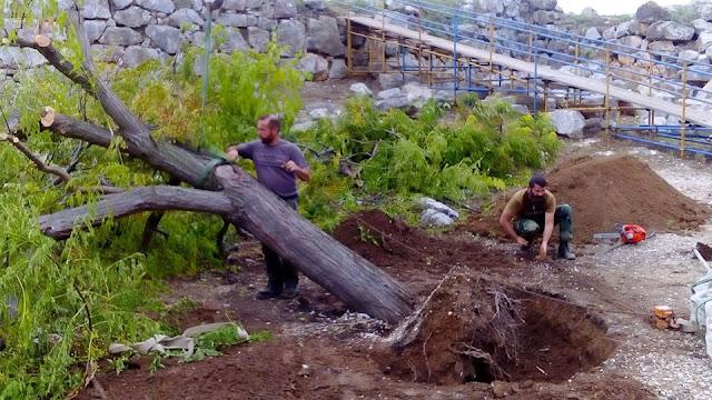"""Εργαζόμενοι στην Ακρόπολη της Τίρυνθας ξανάφύτευσαν μεγάλο δέντρο που ξερίζωσε ο """"Ζορμπάς"""""""