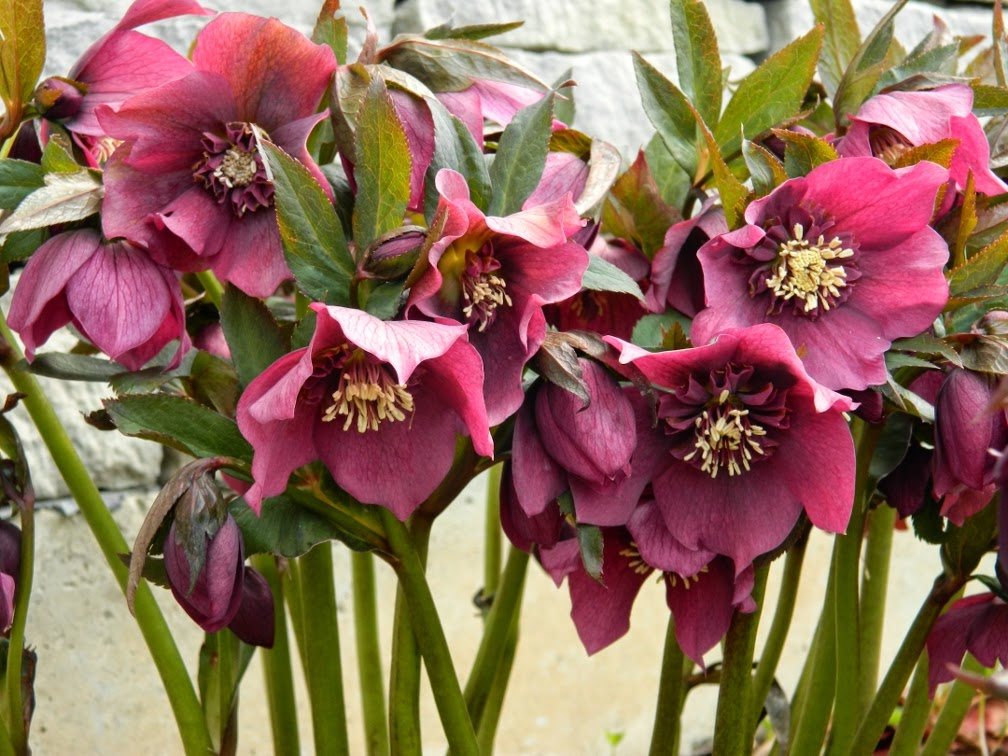 Helleborus x hybridus dark purple double hellebore Toronto Botanical Garden by garden muses-not another Toronto gardening blog