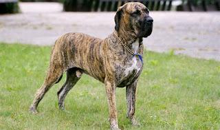 Top 20 of the World's Rarest Dog Breeds