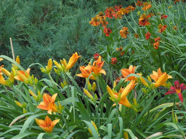 gorące kolory w ogrodzie