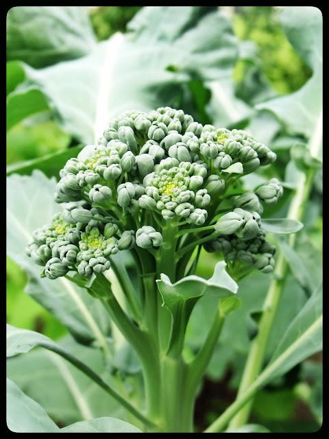 marguerite verte blog brocoli brocolis jardin fleurs fleur droits réservés