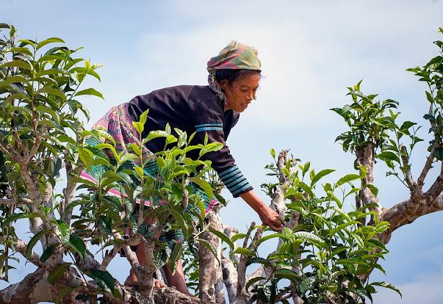 Shan Tuyet tea in Ha Giang 1