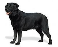 raza de perro labrador retriver