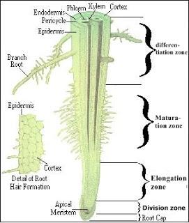 struktur akar dan fungsi akar tumbuhan