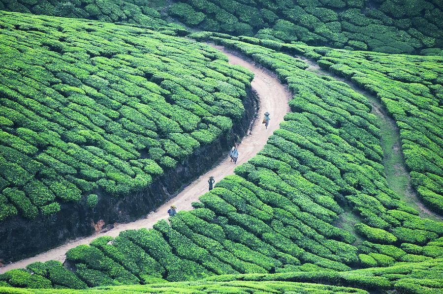Highest tea plantations, Munnar and John Munro - Navrang India