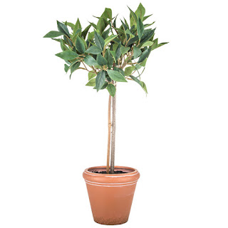https://www.hobbylobby.com/Home-Decor-Frames/Decor-Pillows/Floral-Arrangements/Bay-Leaf-Potted-Topiary/p/80810667