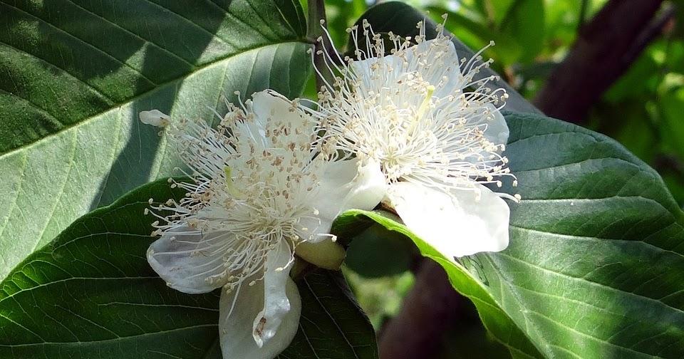 Fungsi Bunga pada Tanaman Jambu adalah | SAHABAT BELAJAR SD