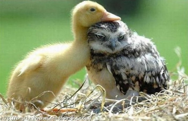 Duckling and owlet