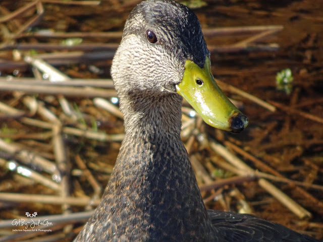 Photography Male Black Duck