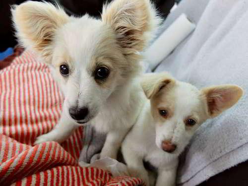 cachorros talla pequena