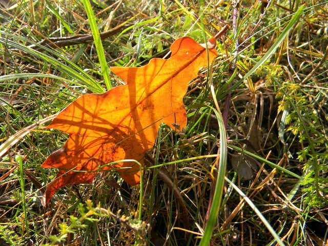 liść, dąb, jesień, fotografia przyrodnicza