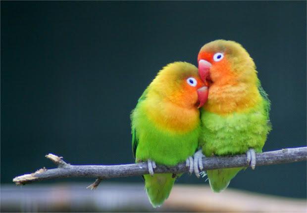 43+  Gambar Burung Lovebird Lebaran HD Terbaru Gratis