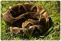 Jararaca - cobras peçonhentas das Américas