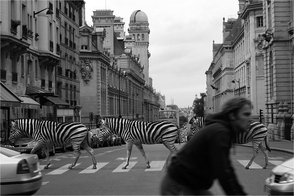 13-Zebra-Ceslovas-Cesnakevicius-The-Zoo-on-our-Streets-Black-and-White-Photography-www-designstack-co