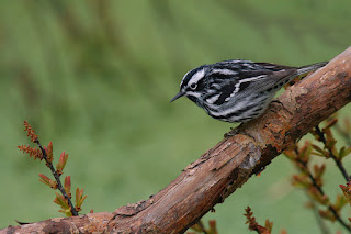 Black and White Warbler in Newfoundland