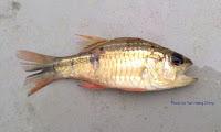 Broadbanded Cardinalfish