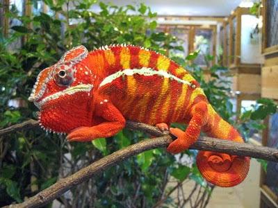 Binatang Berwarna Unik ( Panther Chameleon)