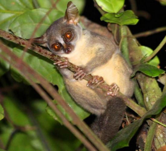 Laporan Penelitian Galagoides kumbirensis Spesies Baru Galago Dwarf Angola Terbesar