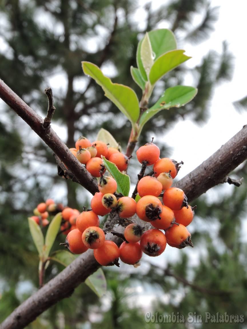 frutos de las diferentes especies de árboles del cerro quitasol