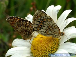Mélitée des centaurées - Grand damier - Melitaea phoebe - Cinclidia phoebe