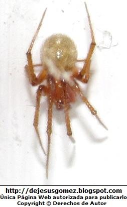 Araña con las patas encogidas. Foto de araña tomada por Jesus Gómez