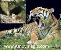 amoy tiger south china tiger xiamen fujian longyan meihua mountain