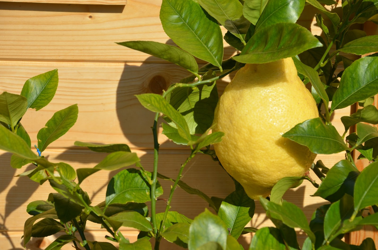 Seed to feed me how to grow a lemon tree for What does a lemon tree seedling look like