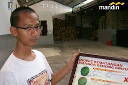 Kisah Sukses Pengekspor Mangga Gedong Gincu