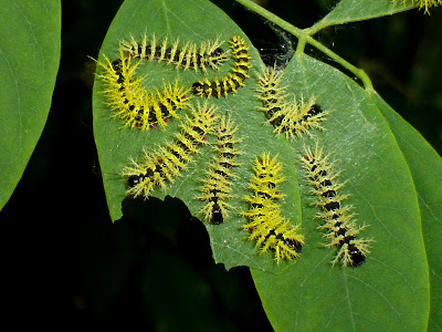 Molippa nibasa caterpillar