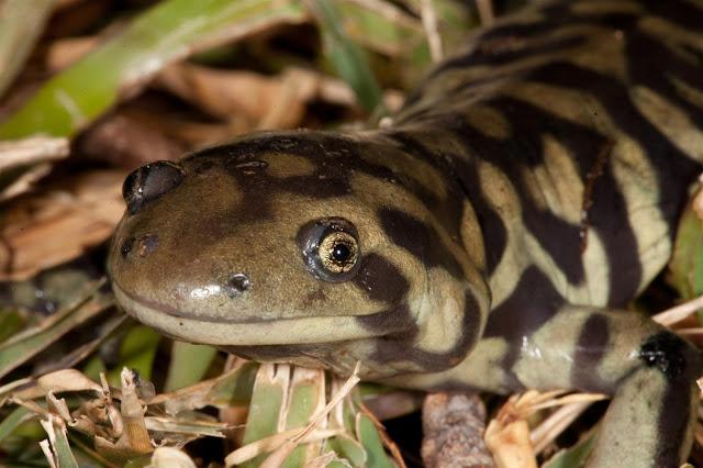 JaredDavidsonPhotography: Tiger Salamander pictures