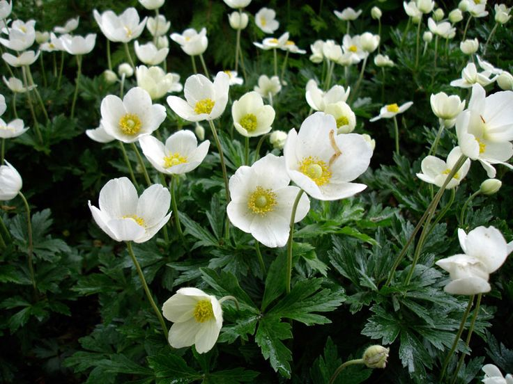 Facts about the anemone sylvestris anemone flowers best locations for planting rock gardens are an ideal place for anemone sylvestris but if mass planting is desired its best to work the soil in the mightylinksfo
