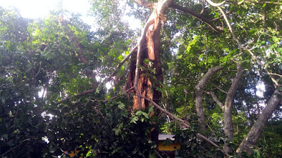 damaged banyan tree