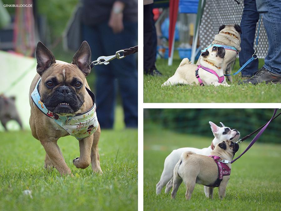 Hundeblog Genki Bulldog Hunderennen in Mannheim