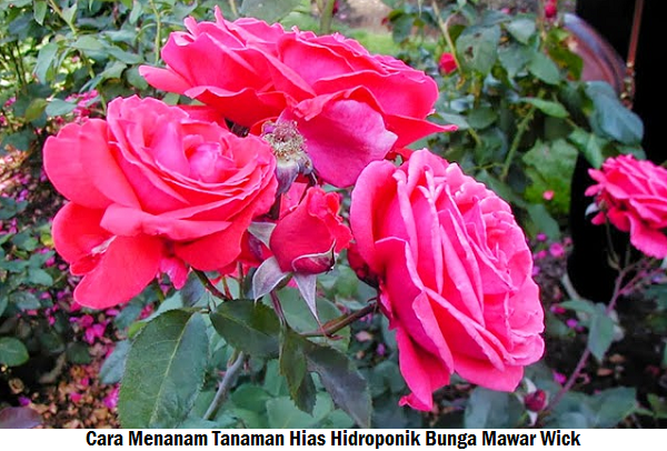 Cara Menanam Tanaman Hias Hidroponik Bunga Mawar Wick