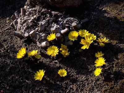 Fukujyuso flowers: Kaizo-ji