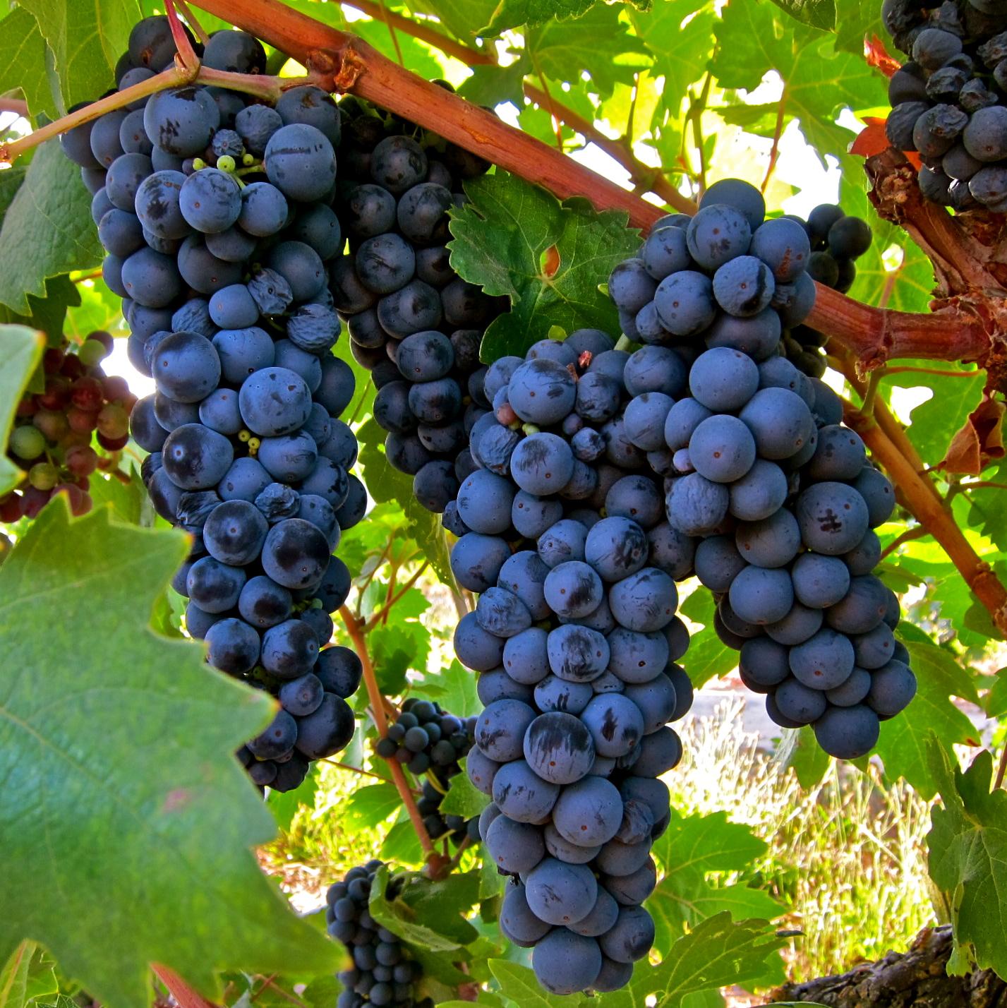 Tzusanna Drinks Wine: Grape of the Month: Zinfandel