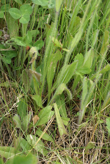 Épervière orangée - Pilosella aurantiaca