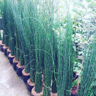 Jual Pohon Bambu Air | Tanaman Indoor | Jasa Tukang Taman Dibogor