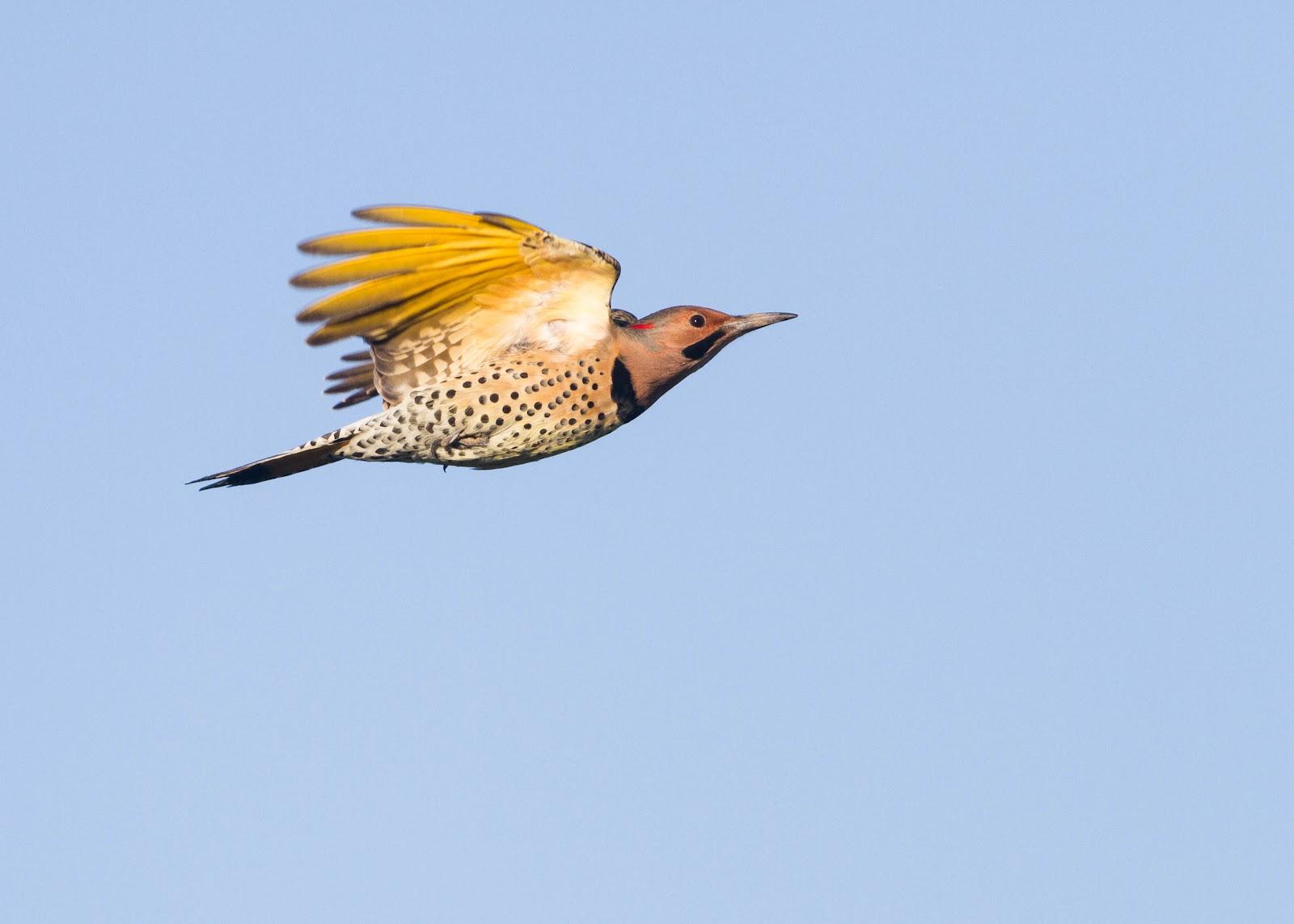 Songbird In Flight Silhouette