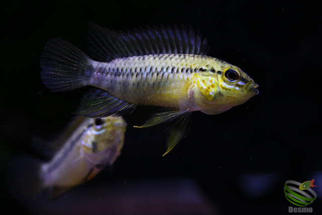 Apistogramma sp. pacman from Guainía-dept. Colombia
