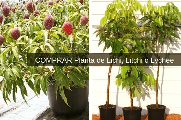 Aquí es donde puedes comprar planta de lichi para cultivar sea en macetas o en terreno