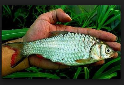 Cara Mancing Ikan Wader Agar Dapat Banyak