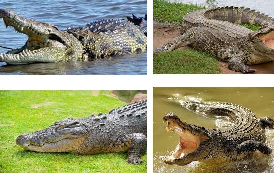 معنى حلم التمساح في المنام - تفسير رؤية التماسيح في الحلم