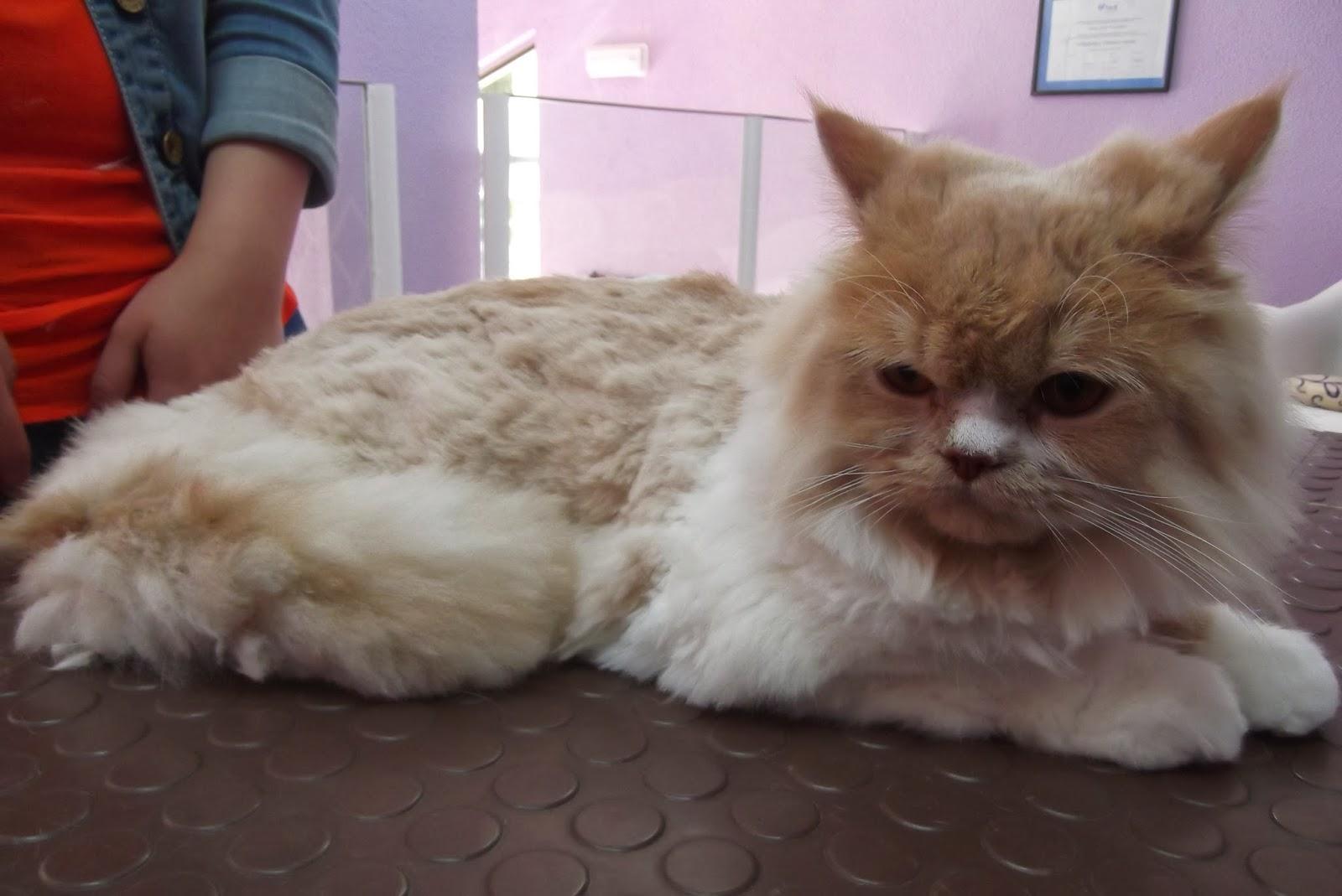 Corte de pelo de gatos persas