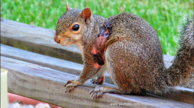 Squirrel Bot Fly Parasite Documentary