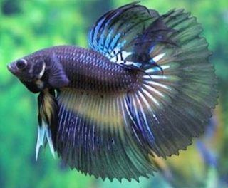 Gambar dan cara ternak ikan cupang aduan